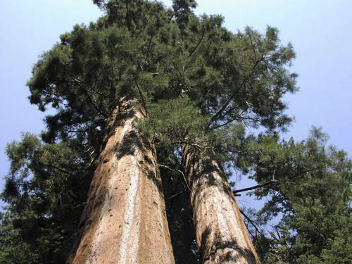 Секвойя - могучее дерево планеты