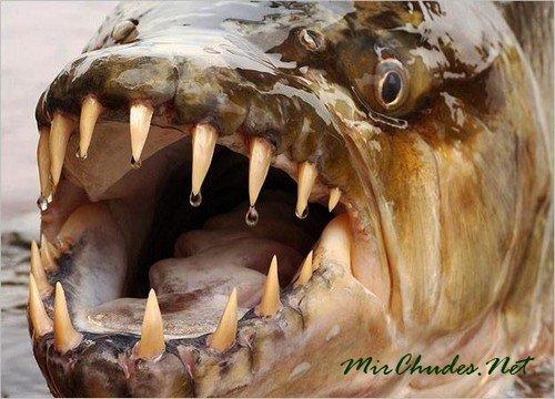 Большая тигровая рыба или гигантский гидроцин, обитающий в бассейне реки Конго.