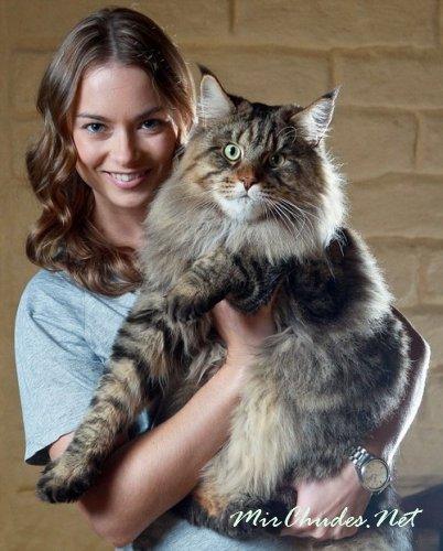 Руперт - трехкратный чемпион «Австралийской кошачьей выставки»