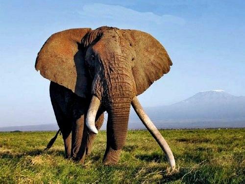 Национальный парк Амбосели славится своей уникальной популяцией слонов и является наиболее посещаемым в Кении.