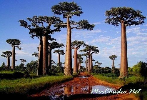 Красивая и зрелищная аллея баобабов в городе Мурундава. Мадагаскар.
