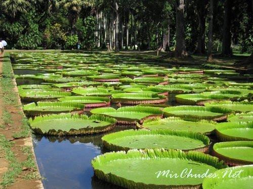 Ботанический сад Pamplemousse — известен ботаникам всего мира.