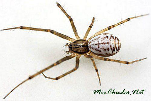 Линифия треугольная (Linyphia Triangularis) — паук умеющий летать