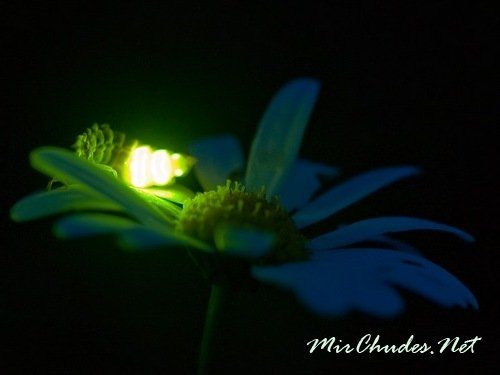 Светлячок на ромашке