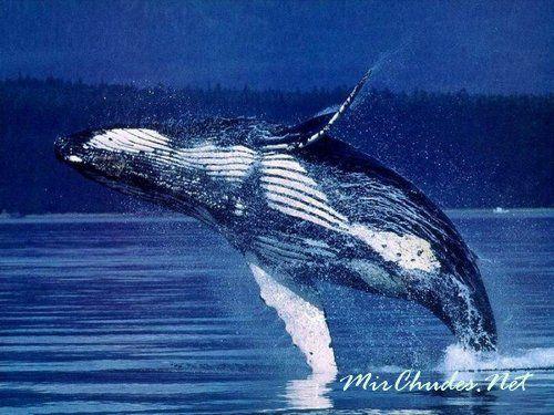 Синий кит — самое крупное животное когда-либо живущее на Земле