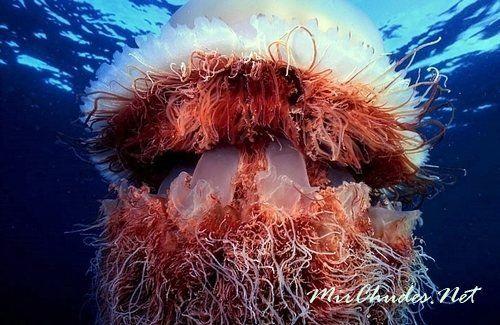 Арктическая цианея — самая большая медуза Мирового Океана.