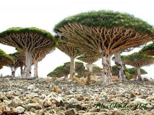 Необычные деревья на острове Сокотра