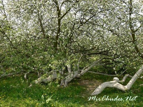 Яблоня — символ целостности и разумности земных желаний и телесных стремлений.