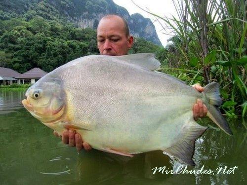 Обитает паку в бассейнах рек Ориноко и Амазонки.