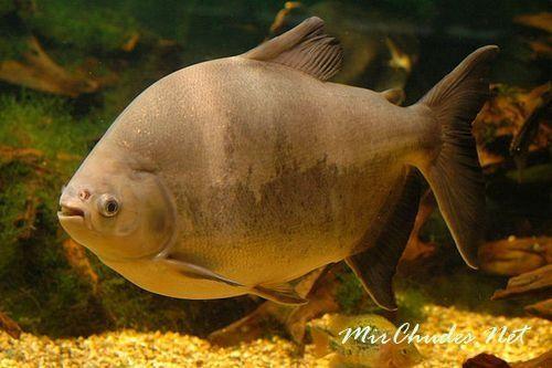Пиранья Паку (Piaractus mesopotamicus) — эта красивая и загадочная пресноводная рыба.