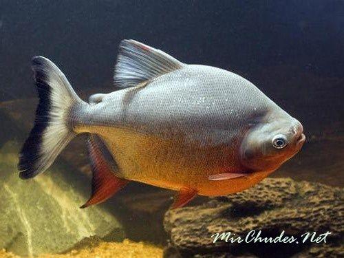 Живя в аквариумах, пиранья паку не размножается, по-видимому, из-за своих больших размеров.