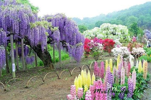 Сад Глициний в городе Китакюсю Фукуоке в Японии.