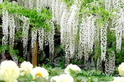 Соцветия вистерии могут вырастать в длину до одного метра.