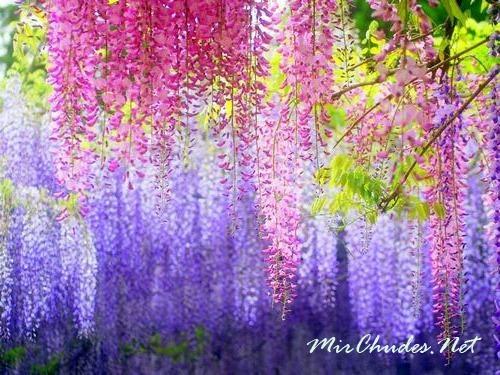 Разноцветные гроздья цветущей глицинии.