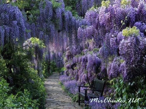 «Золотая Неделя» в конце апреля — пик цветения глицинии в саду Кавати Фудзи.