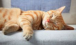 Спящий кот