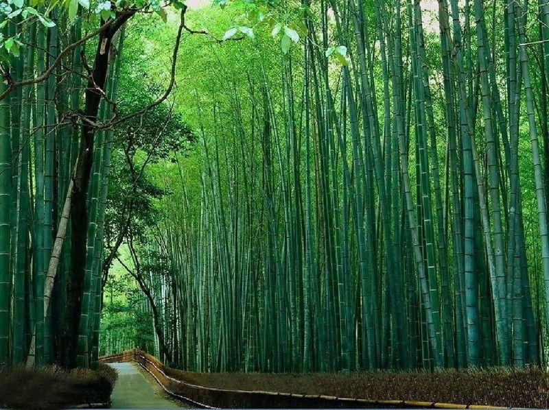 Бамбук — символ счастья и чистоты для японцев.