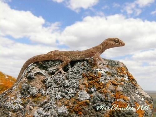 Гора Большое Богдо — единственное место в России, где обитает пискливый геккончик.