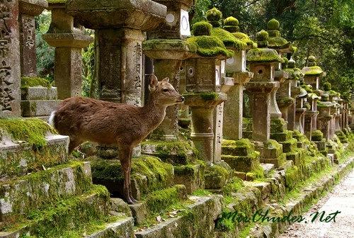 Олени совершенно свободно бродят по парку японского города Нара. К животным все относятся с величайшим почтением.