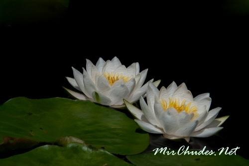 Хотя кувшинку белую и называют водяной лилией, с лилиями ее объединяет лишь красота цветков.
