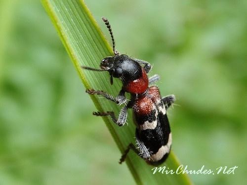 Во время охоты муравьежук похож на муравья, но его отличают надкрылья, характерные для жуков.