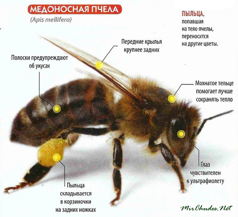 Пчелы и мед фото