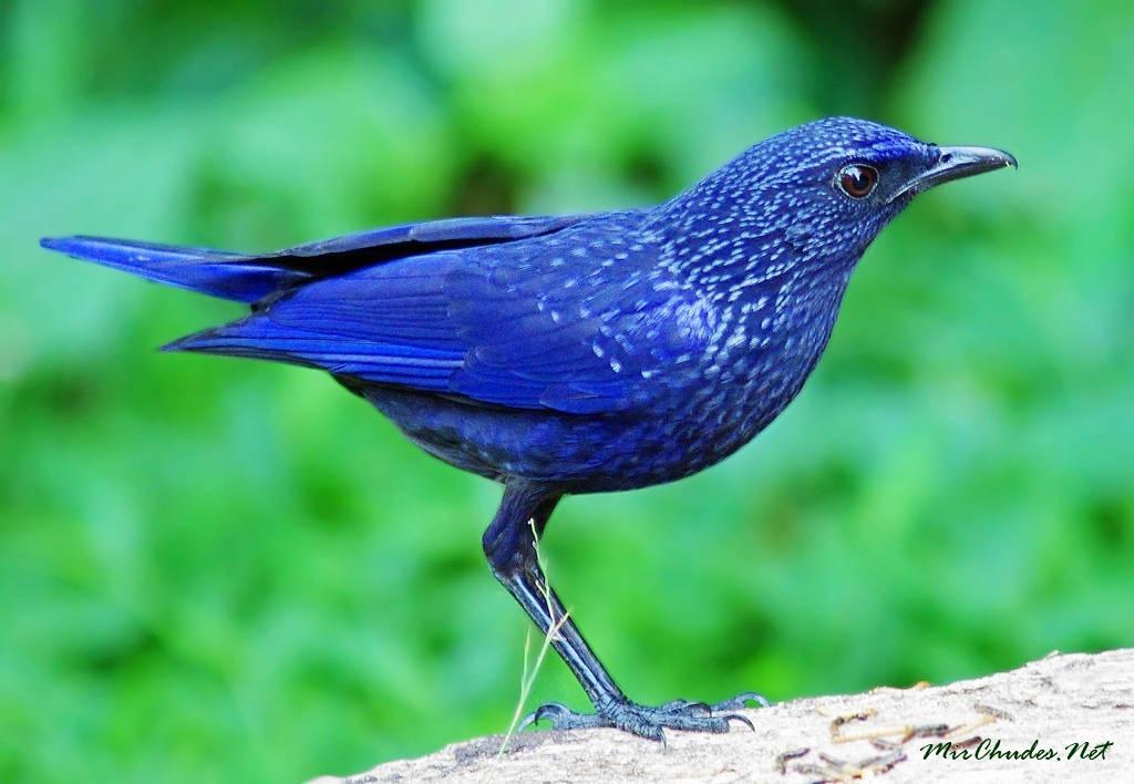 Птица синего цвета фото