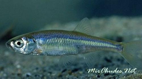 Внешне верховки напоминают мелких уклеен, и этих рыб часто путают.