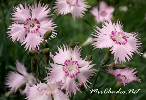Несмотря на разнообразие окраски и формы лепестков, цветки гвоздик легко узнаваемы.