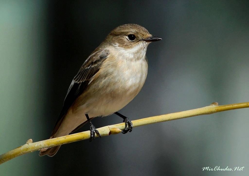 мухоловка фото птицы