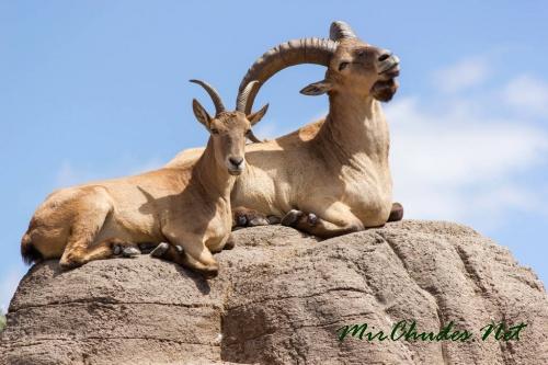 Роскошные рога дагестанских туров всегда считались престижным охотничьим трофеем.