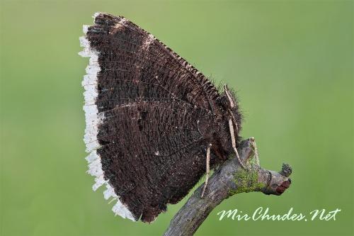 Нижняя сторона крыльев этой бабочки тоже «бархатная», но окрашена скромнее - темная с неясными разводами.