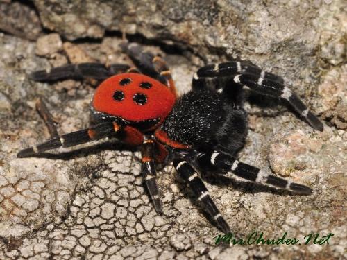 Самцы черной толстоголовки невелики, но, пожалуй, самые яркие и красочные из наших пауков.