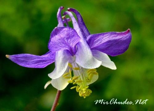 Цветки водосбора отличаются простотой и изяществом.