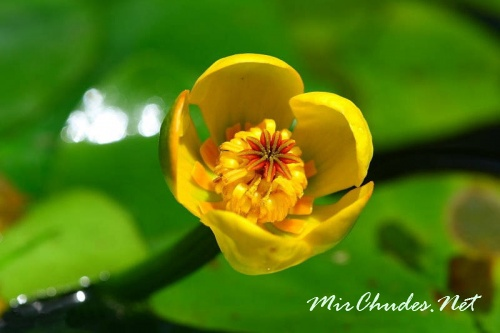 Фото цветок кубышка
