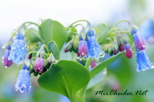 Стебли и листья растения покрыты голубоватым восковым.