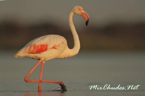 Фламинго - этих длинношеих и длинноногих птиц можно было бы назвать несуразными, если бы не их оперение цвета утренней зари.
