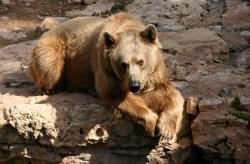 Белокоготный или тяньшанский медведь