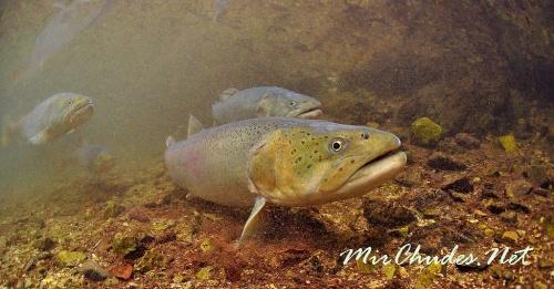 Тайменя, пойманного в монгольских реках, согласно действующему законодательству нужно отпускать. Благодаря этому монгольские таймени крупны и многочисленны