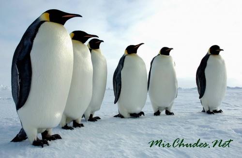 Пингвины - единственные птицы, которые плавают, но не летают.