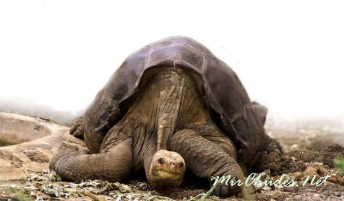 Одинокий Джордж был последней надеждой на сохранение подвида.