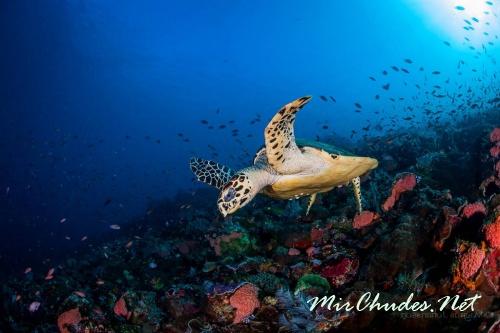Бисса — необыкновенно красивая морская черепаха