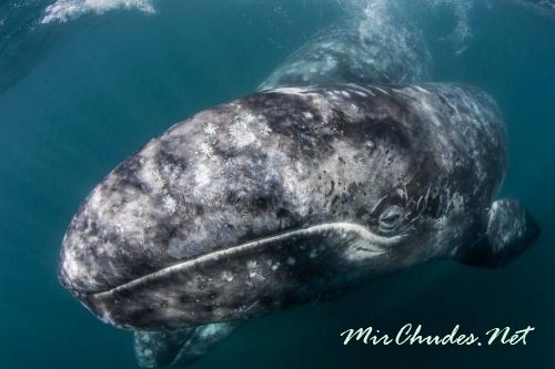 Серый кит считается одним из самых древних млекопитающих, возраст вида насчитывает 30 млн лет