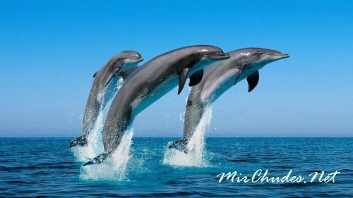 Мозг дельфина обрабатывает звуковые сигналы аналогично тому, как и человеческий мозг видеоинформацию.