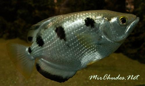 Взрослые рыбы брызгуны обычно блестящие, белые, с темными поперечными полосами на верхней части туловища.