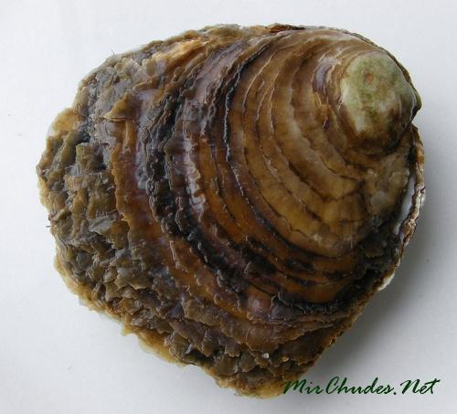 Устриц обычно употребляют сырыми и ценят их как деликатес.