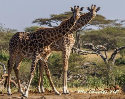 Все обитающие в степях жирафы относятся к одному единственному виду — жираф обыкновенный (Giraffe Camelopardalis).