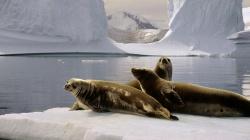 Тюлень Ведделя