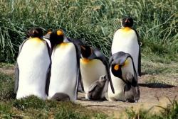 Патагонский пингвин