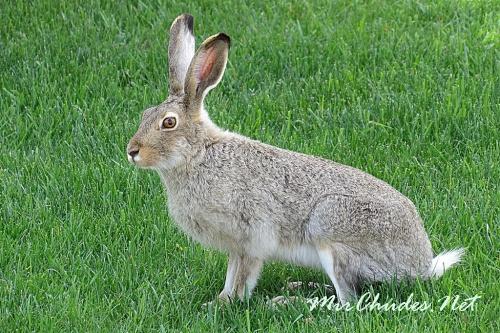 Заяц белохвостый - лакомая добыча хищников на Великих равнинах.
